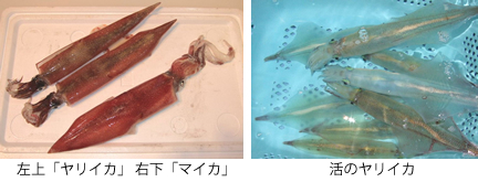 左上「ヤリイカ」 右下「マイカ」、活のヤリイカ