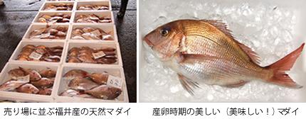 真鯛(マダイ)